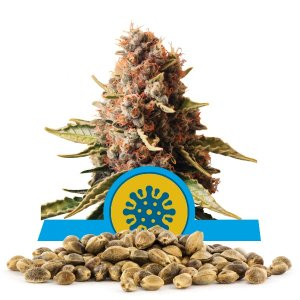 Euphoria CBD / FEM 100er / Royal Queen Seeds