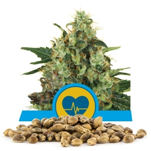 Medical Mass CBD / FEM 100er / Royal Queen Seeds