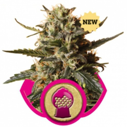 Bubblegum XL / FEM 1er / Royal Queen Seeds (aus Bulk)