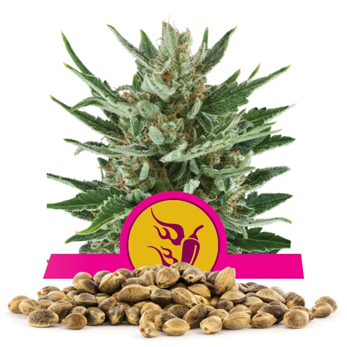 Speedy Chile FAST VERSION / FEM 1er / Royal Queen Seeds...