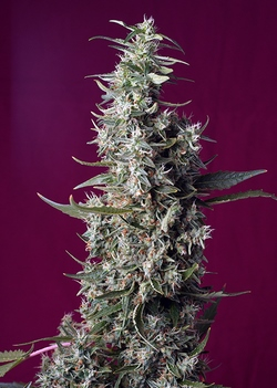 Sweet Cherry Pie / FEM 3er / Sweet Seeds