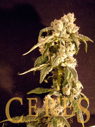 Ceres Easy Rider / AUTOFEM 5er / Ceres Seeds