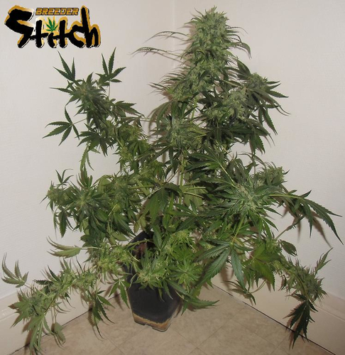 Russian Haze / AUTOREG 8er / Flash Seeds