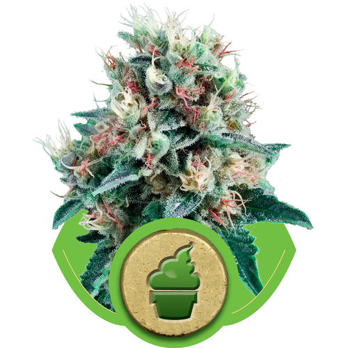 Royal Crea / AUTOFEM 10er / Royal Queen Seeds
